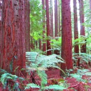 Redwood Forest, Rotorua